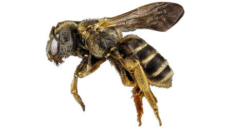 Bee Removal Sydney