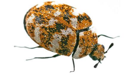 Carpet Beetle Control Sydney