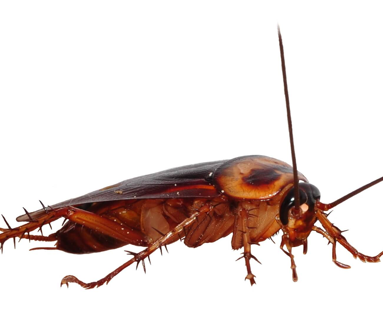 Cockroach Extermination in Sydney | Ray\'s Pest Control