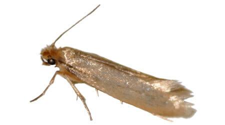 Moth Control Sydney