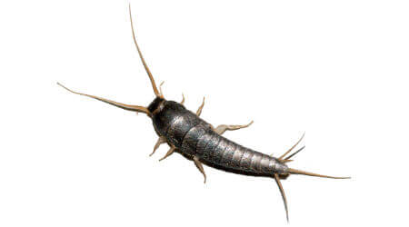 Silverfish Treatment Sydney