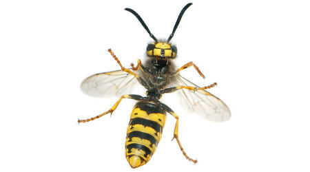 Wasp Removal Sydney